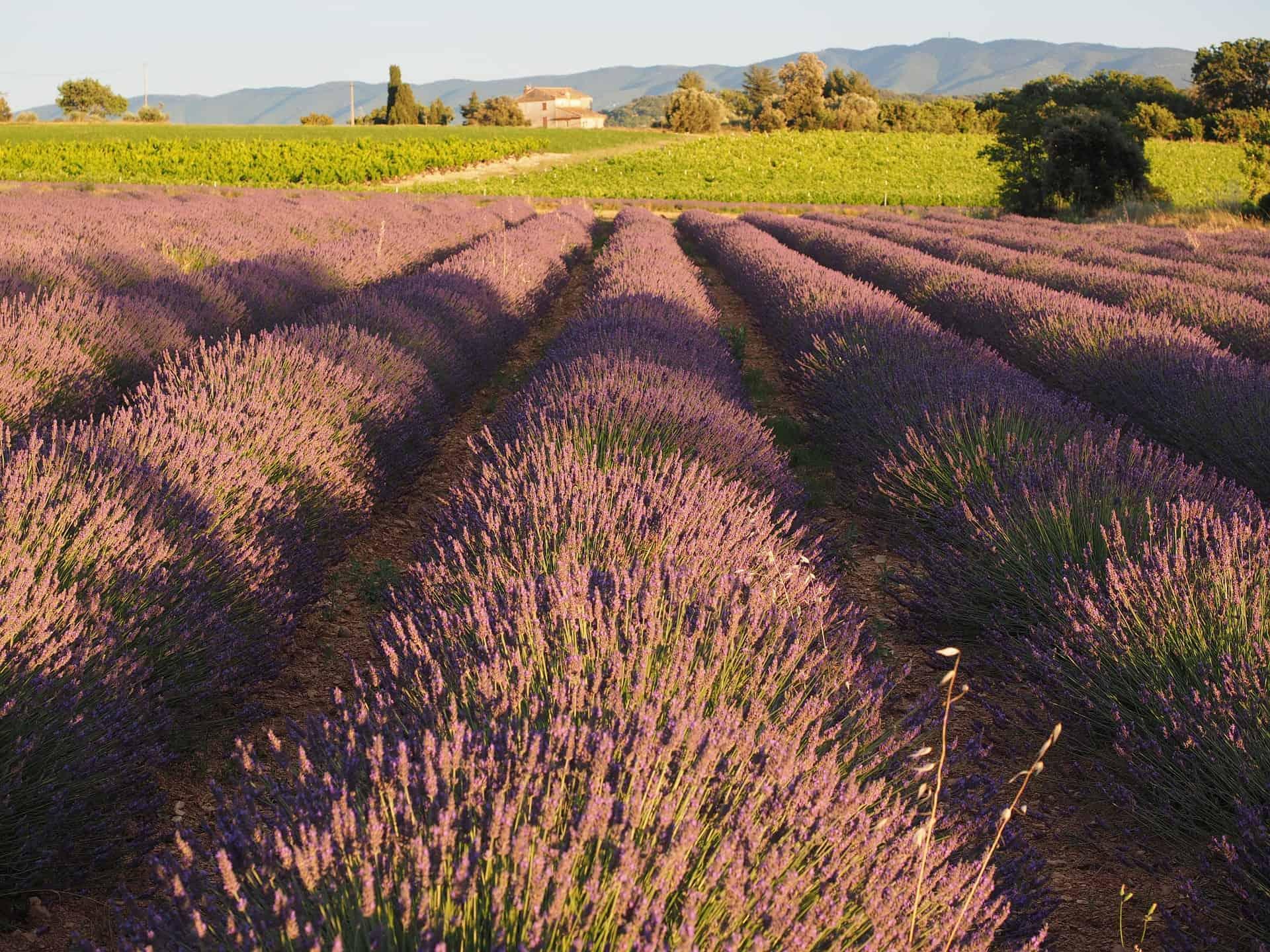 Lavendel Provence, Lavendel marked i Provence, Lavendel i Provence, Aix-en-Provence, romantisk tur til Provence, ting å gjøre i Provence, langhelg i Provence, weekendtur til Provence, ferie i Provence, ting å gjøre i Provence, lavendel i Provence, dagsturer i Provence