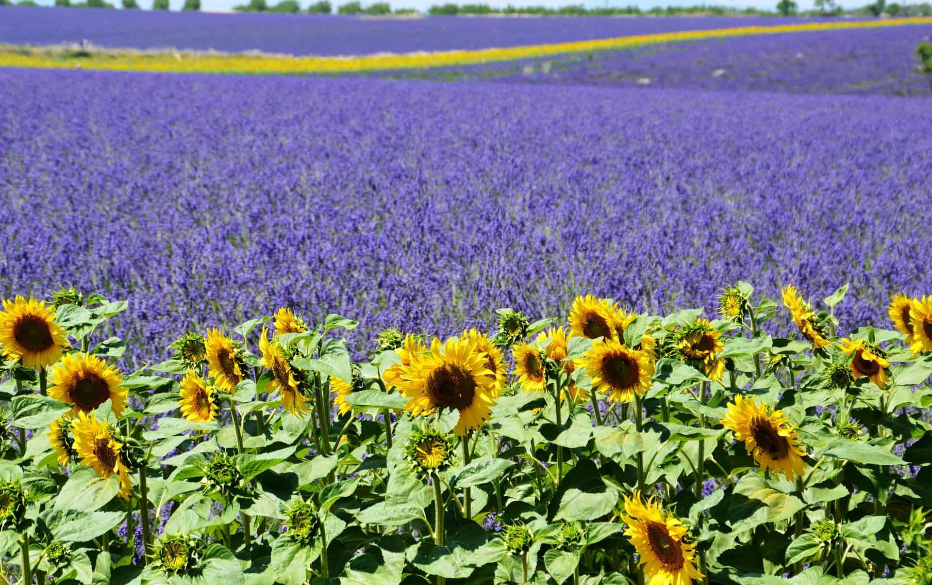 Valensole platå i Provence, dagsturer i Provence, Lavendel marked i Provence, Lavendel i Provence, Aix-en-Provence, romantisk tur til Provence, ting å gjøre i Provence, langhelg i Provence, weekendtur til Provence, ferie i Provence, ting å gjøre i Provence, lavendel i Provence